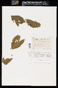 Phyllosticta rudbeckiae image