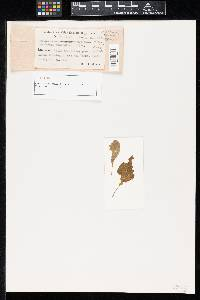 Pseudocercospora ocimicola image