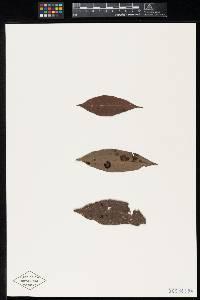 Meliola parathesicola image