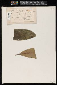 Image of Meliola vicina