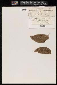 Meliola hymenaeicola image