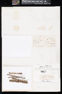 Leptosphaeria ellisiana image