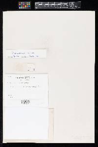 Image of Oidium sphaerosporum