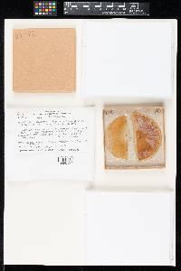 Image of Cladobotryum clavisporum