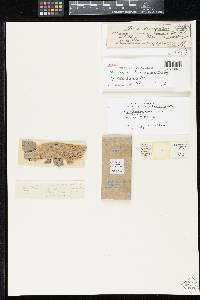 Image of Splanchnonema britzelmayrianum
