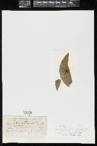 Asterinella hippeastri image