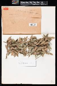 Pestalotia maculiformans image