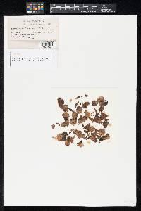 Pestalotia stevensonii image