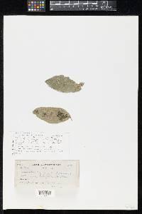 Image of Asterina drypetis
