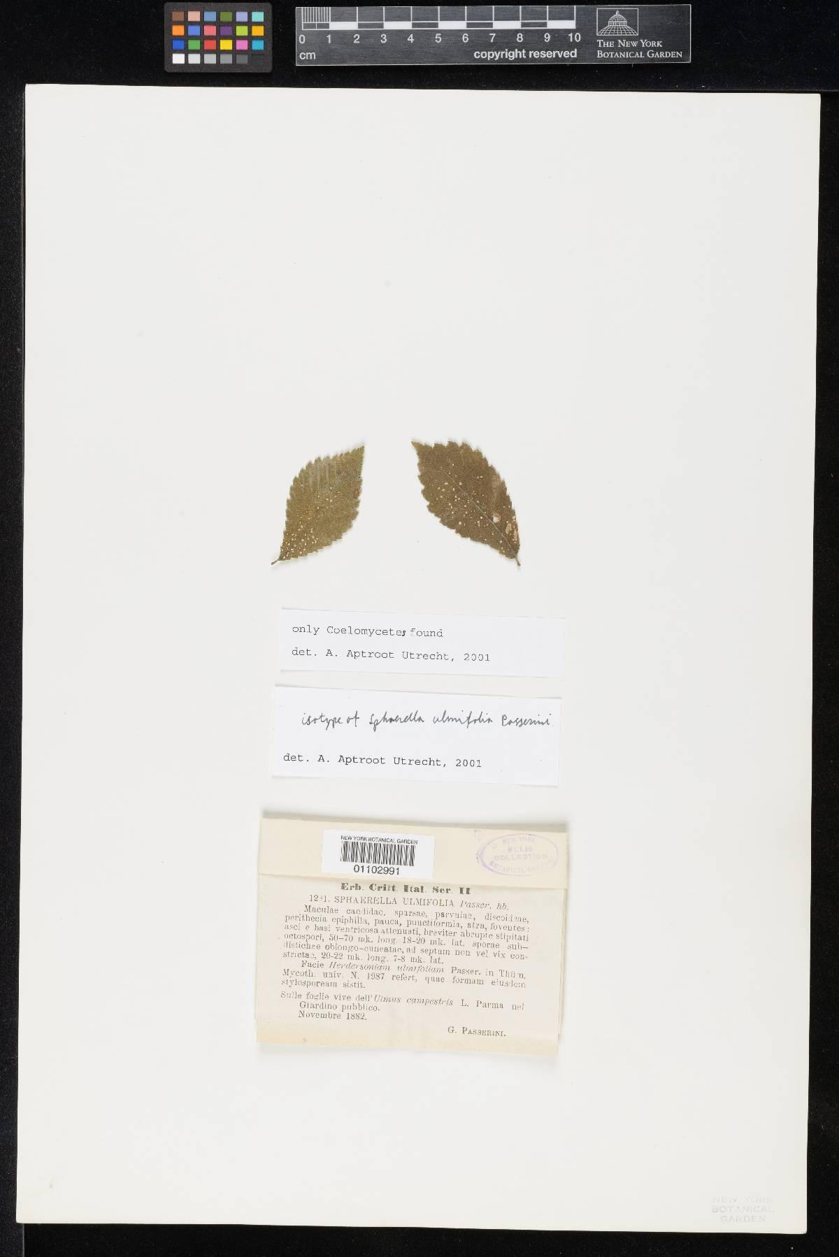 Sphaerella ulmifolia image