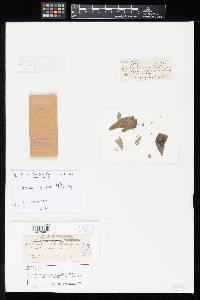 Image of Pestalotia cornifolia