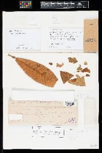 Pestalotia langloisii image