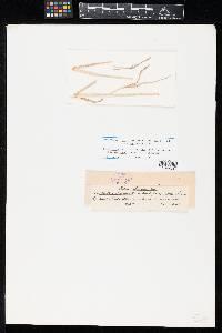 Crocicreas megalosporum image