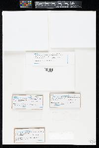 Ombrophila nigrescens image