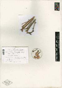 Image of Splanchnonema atroinquinans