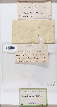 Hapalopilus croceus image