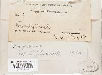 Rigidoporus crocatus image
