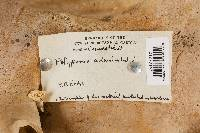 Polyporus admirabilis image