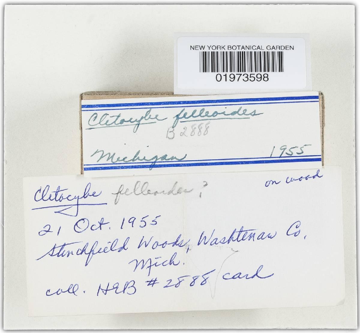 Clitocybe felleoides image