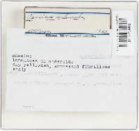 Agaricus silvicola image