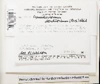 Cymatoderma dendriticum image