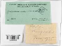 Image of Thelephora striispora