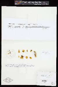 Inonotus dentatus image