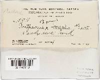 Lysurus borealis image