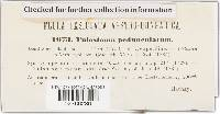 Tulostoma pedunculatum image