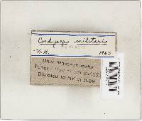 Cordyceps militaris image