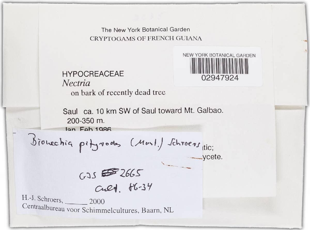 Bionectria pityrodes image