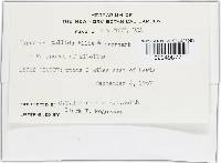 Hypocrea pallida image
