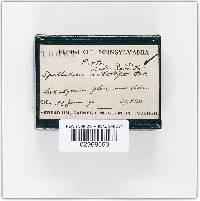 Spathularia rufa image