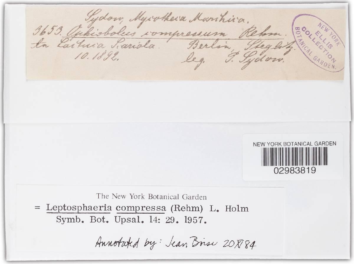 Leptosphaeria compressa image