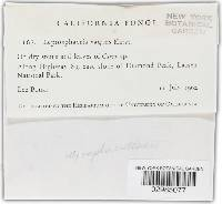 Leptosphaeria vagans image