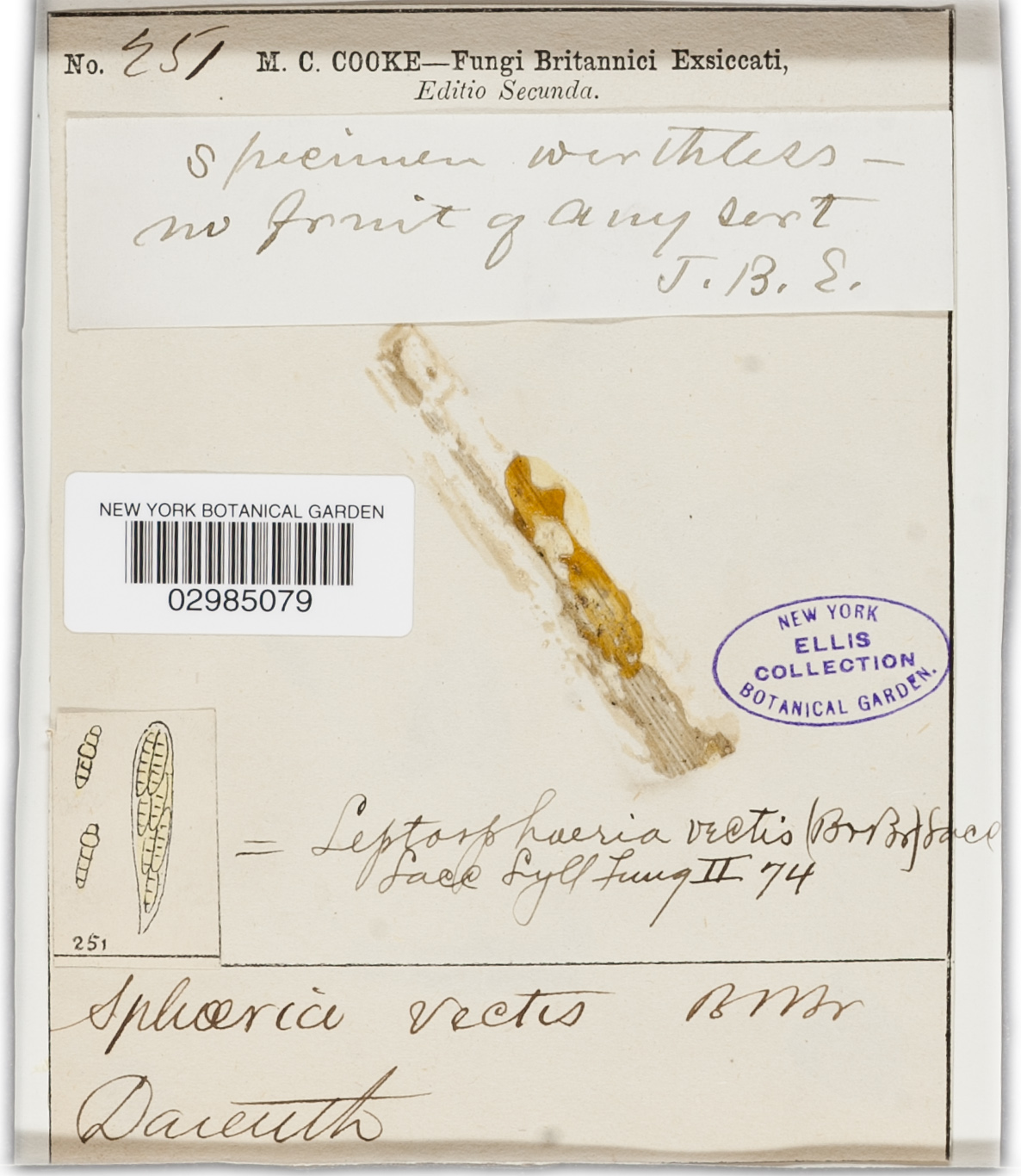 Leptosphaeria vectis image
