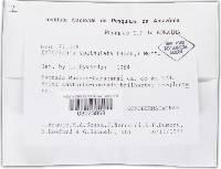 Phylloporia spathulata image