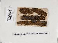 Pseudochaete tabacina image