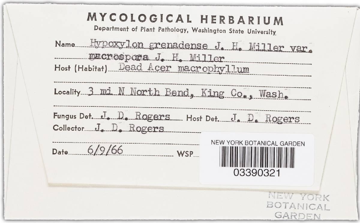 Biscogniauxia grenadensis image