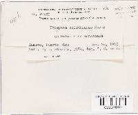 Uromyces columbianus image