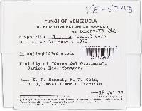 Bisporella sulfurina image