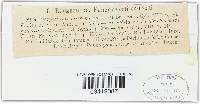 Gorgoniceps micrometra image