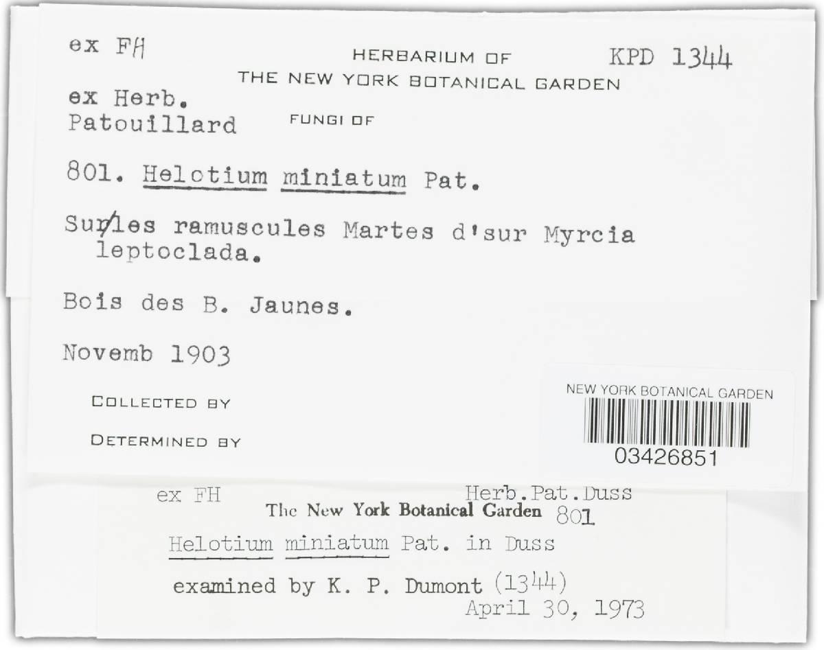 Hymenoscyphus miniatus image