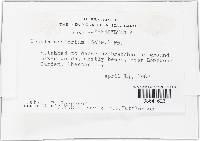 Plectania campylospora image