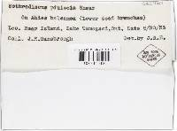 Ascocalyx abietis image