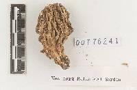 Clavaria gelatinosa image