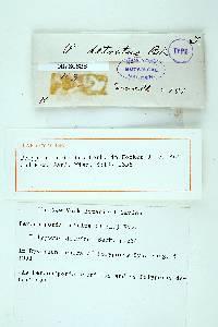 Polyporus detritus image