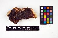 Ganoderma pulverulentum image