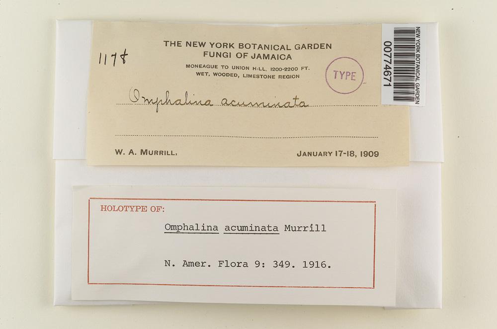 Omphalina acuminata image