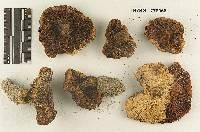 Melanoleuca subargillacea image